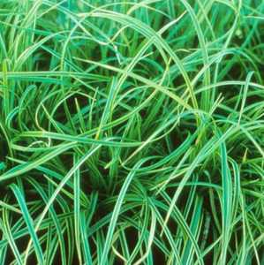 Sedge, Silver Variegated Japanese
