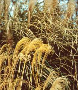 Grass, Maiden