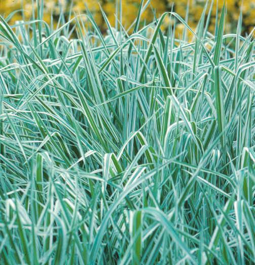 All_plants_phalaris_arundinacea-1.full