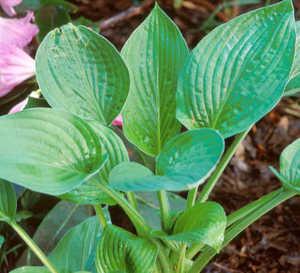 Hosta, 'Hyacinthina'