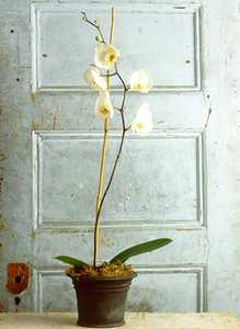 Orchid, Phalaenopsis 'Swan White' Mix in Gray Pot
