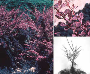 Barberry, 'Rose Glow'
