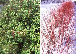 Dogwood Shrub, Red Twigged