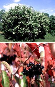 Viburnum, Nannyberry