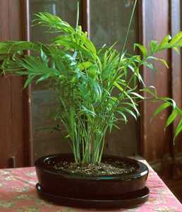 Chamaedorea Palm, Bonsai