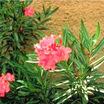 All_plants_nerium_oleander-1.thumb