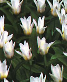 Tulip, Kaufmanniana 'Fritz Kreisler'