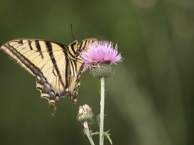 Tigerswallowtail.detail