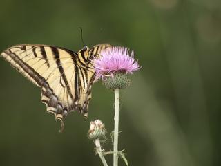 Tigerswallowtail.large