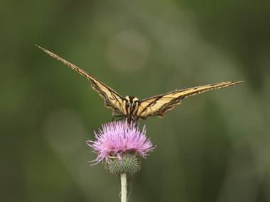 Tigerswallowtail2.detail