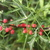 Agarita_berries.small