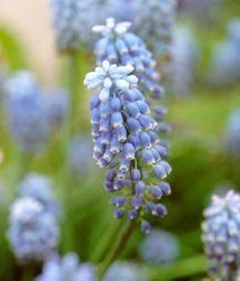 Hyacinth, Alpine