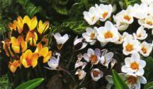 Crocus, Spring Flowering Snow 'Lady Killer'