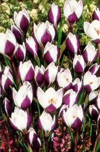 Crocus, Spring Flowering Snow 'Prins Claus'