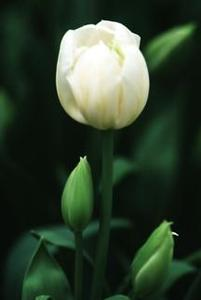 Tulip, Multiflowered 'Weisse Berliner'