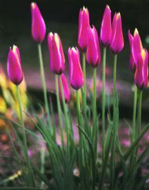 Tulip, Wild 'Cynthia'