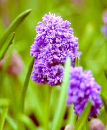 Hyacinth, Feather Grape