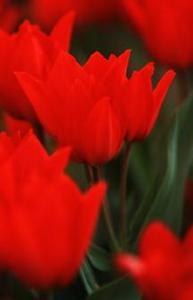 Tulip, Wild 'Zwanenburg'