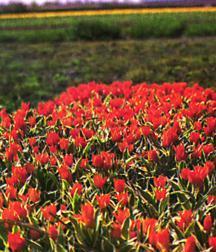 Tulip, Wild 'Odalisque'