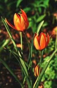 Tulip, Wild