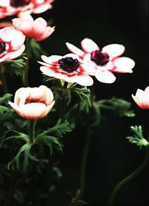 Anemone, Bicolor Mix