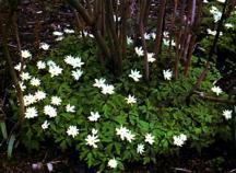 Anemone, Wood