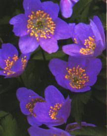 Anemone, Wood 'Robinsoniana'