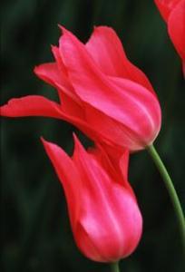 Tulip, Lily-flowered 'Mariette'