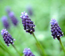 Hyacinth, Starch