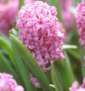 Hyacinth, Dutch  'Amethyst'
