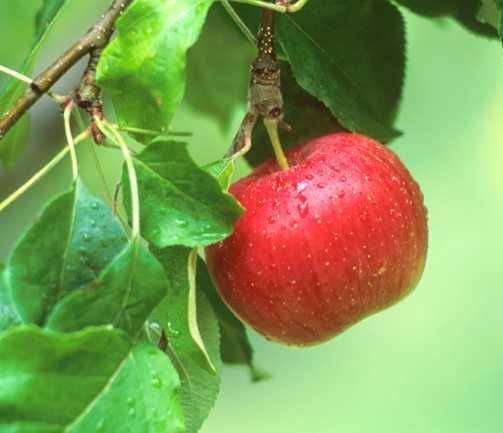 Apples_malus_pumila_wealthy-1.full