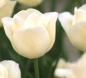 Tulip, Triumph 'Silver Dollar'