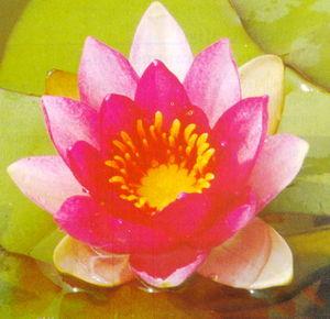 Hardy_water_lilies_nymphaea_ellisiana-1.full