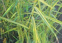 Reed, Golden