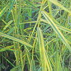 All_plants_pharagmites_australis_aurea-1.thumb