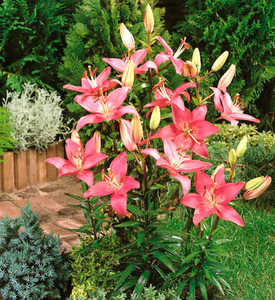 Lily, Asiatic 'Montreux'