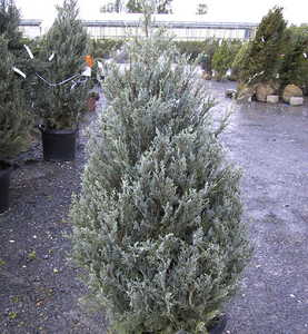 Juniper, Rocky Mountain 'Wichita Blue'