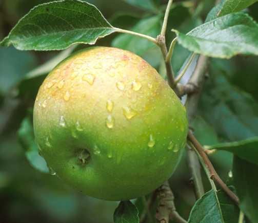 Apples_malus_pumila_twenty_ounce-1.full