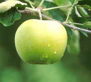 Apple Tree, Semi-dwarf 'Fall Pippin'