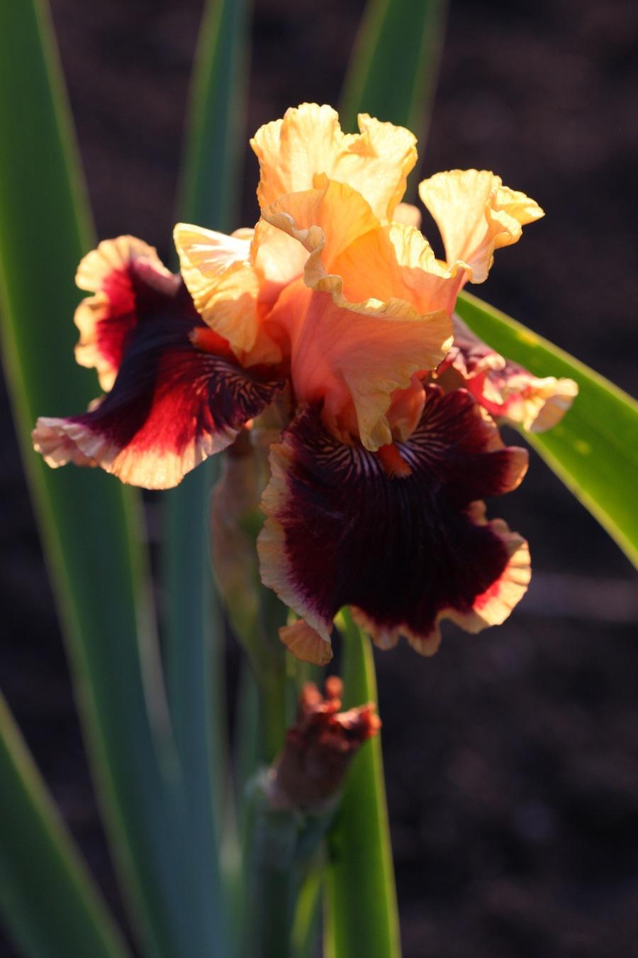 Iris.full