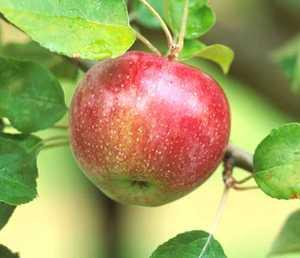Apple Tree, Semi-dwarf 'Macoun'