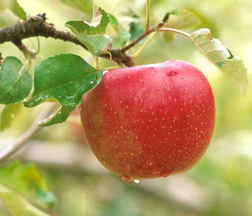Apples_malus_pumila_opalescent-1.full