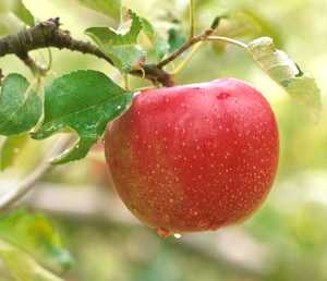 Apple Tree, Semi-dwarf 'Opalescent'