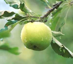 Apple Tree, Semi-dwarf 'Tolman Sweet'