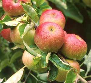 Apple Tree, Semi-dwarf 'Wagener'