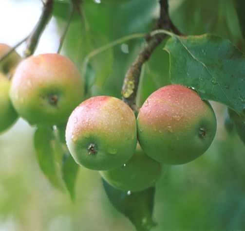 Apples_malus_pumila_westfield_seek-no-further-1.full