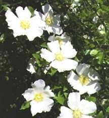 Rose, Antique 'Cherokee Rose' (1759)