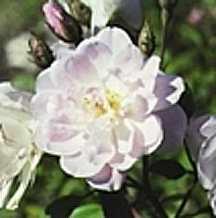 Rose, Antique Noisette 'Champney's Pink Cluster' (1811)
