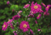 All_plants_anemone_x_pamina-1.full