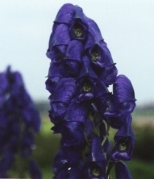 Monkshood, 'Barker's Variety'
